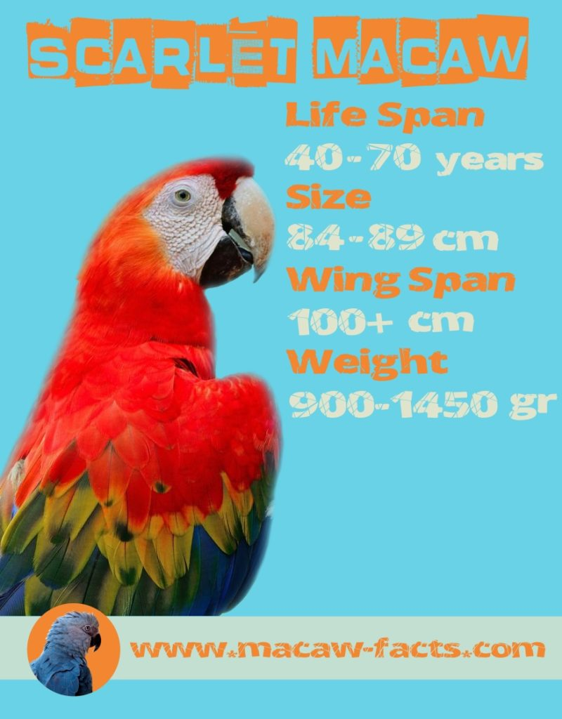 scarlet macaw facts diet behavior
